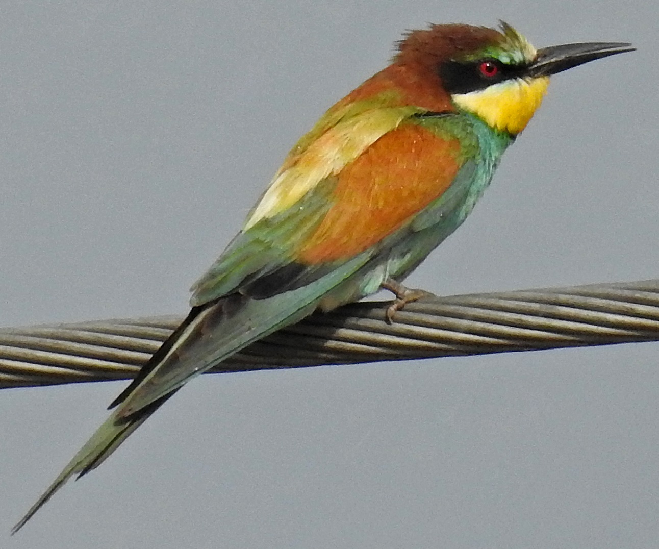 Bee-eater, Adam Moan