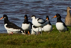 Avocet in Oystercatcher flock, Solway, Tony Marsh