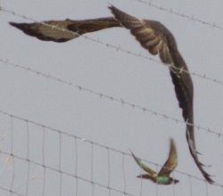 Bee-eater and buzzard, Ruth Rowlands