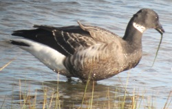 Black Brant or hybrid, Rampside, Tony Phizacklea