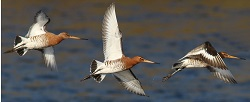 Black-tailed Godwit, River Esk, Longtown, Nick Franklin