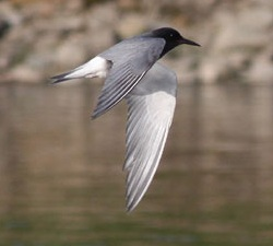 Black Tern, Longtown, Nick Franklin