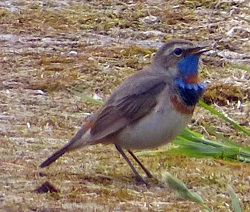 Bluethroat, Walney, Walneybo.blogspot.co.uk