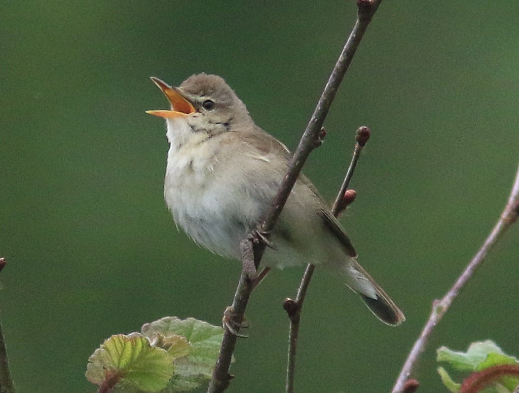 Blyth's reed warbler, Longlands Lake, 2020-06-29, Nick Franklin