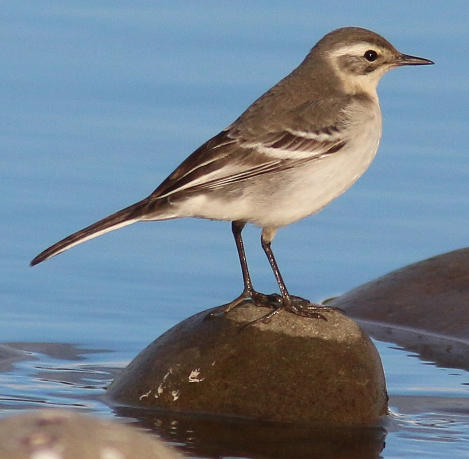 Citrine Wagtail, Longtown, Nick Franklin