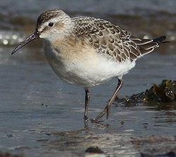 Curlew Sandpiper, Bowness Railings, Nick Franklin
