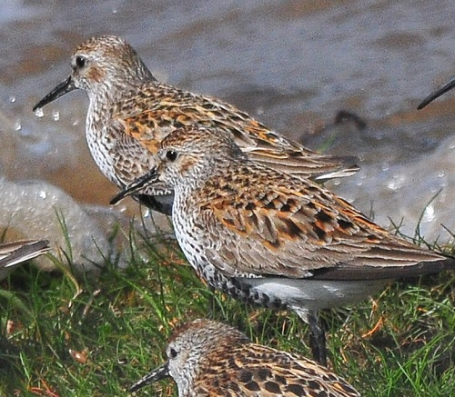 Dunlin, Bowness Railings, 2/5/18, Tommy Holden