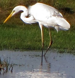 Great White Egret, Campfield, Ian Kinley