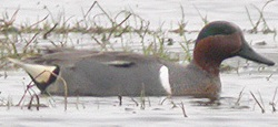 Green-winged Teal, North Plain, Darren Robson