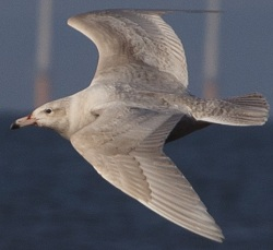 Glaucous Gull, Maryport, Keith Hamilton