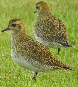Golden Plover, Anthorn aerials, Adam Moan