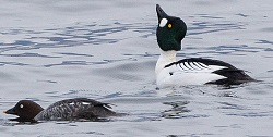 Goldeneye, Derwent Water, Tony Marsh