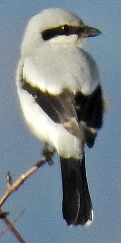 Great Grey Shrike, Talkin Head, Adam Moan