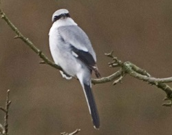 Great Grey Shrike, Wharton Tarn, Jamie Green