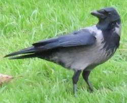 Hooded Crow, Whitehaven, Steve Dutton