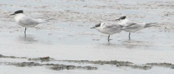 Sandwich terns, Grune point, Chris Cant