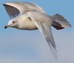 Iceland gull, Windermere, Nick Franklin