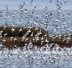Knot flock, Grune point, Tony Marsh