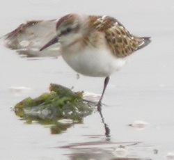 Little Stint, Port Carlisle, Darren Robson