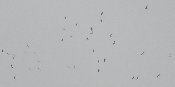 Long-tailed Skuas, Bowness-on-Solway, Darren Robson