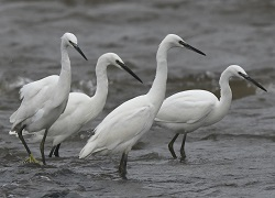 Little egrets, Port Carlisle, 23 Sept 2017, Roger Ridley
