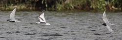 Little Gull and Black Terns, Longtown, Nick Franklin