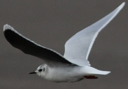 adult Little Gull from Maryport, Chris Hind