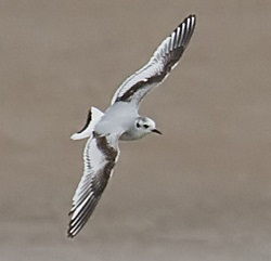 Little Gull, Drumburgh, Darren Robson