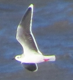 Little Gull, Workington, Steve Dutton