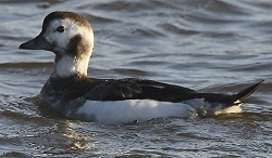 Long Tailed Duck, Grune Point, 29th December 2016, Roger Ridley