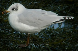 Mediterranean Gull, Workington, Craig Shaw