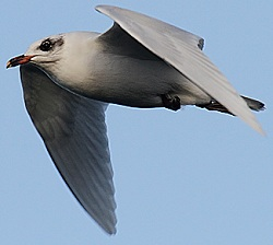 Mediterranean Gull, Workington, Tristan Reid