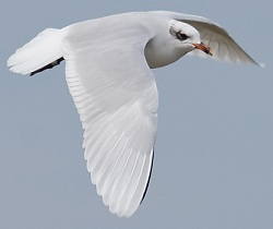 Mediterranean Gull, Workington, Darren Robson