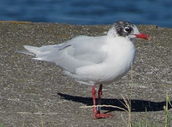 Mediterranean Gull, Workington, Steve Dutton