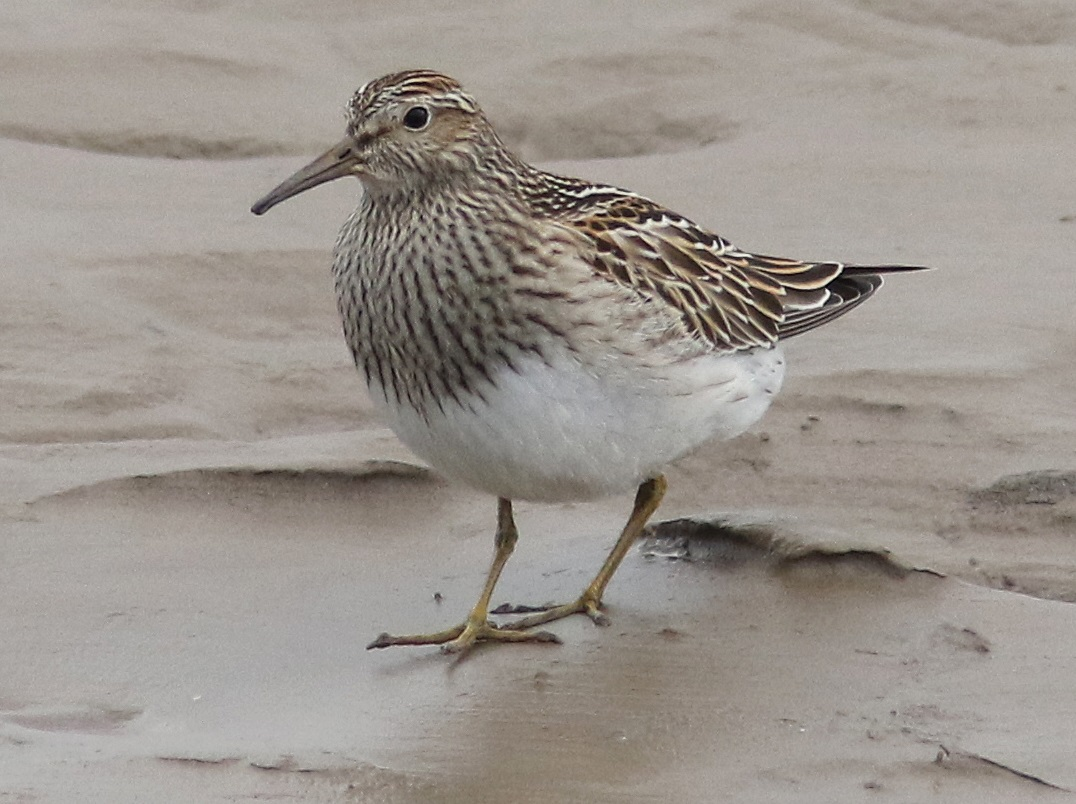 Pectoral sandpiper, Anthorn, 2020-10-13, Nick Franklin