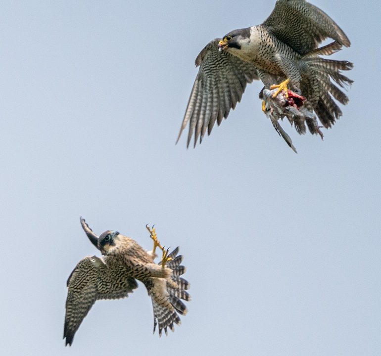 Peregrine - South Cumbria, June 2020, Brian Howson