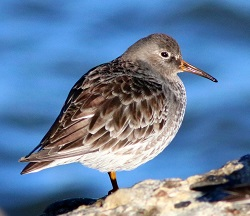 Purple Sandpiper, Workington, Steve Dutton