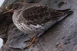 Purple Sandpiper, Parton beach, Tony Marsh