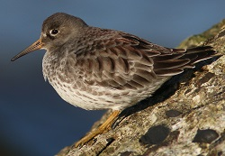 Purple Sandpiper, Workington, Nick Franklin