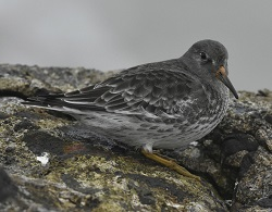 Purple Sandpiper, Workington Docks, 1st Dec 2016, Roger Ridley