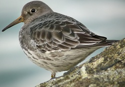 Purple Sandpiper, Workington, Craig Shaw