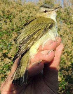 Red-eyed Vireo, Walney B.O., Lou Cross