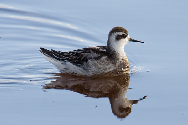 Red-necked Phalarope, Carr Beds, Darren Robson