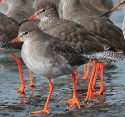 Redshank, Maryport Harbour, 25/9/17, Tommy Holden