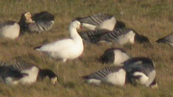 Ross's Goose, Skinburness, Darren Robson