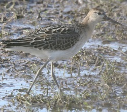Ruff, 17/10/17, Haverigg, Doug Radford