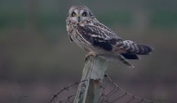 Short-eared Owl, Mawbray, Craig Shaw