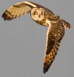 Short-eared Owl, Mawbray, Darren Robson