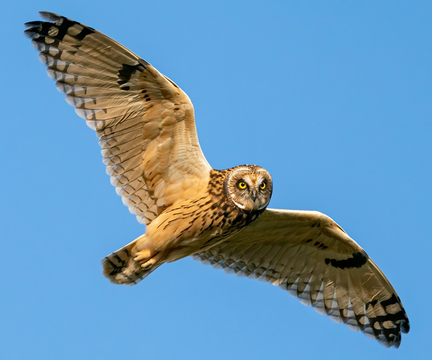 Short-eared Owl - South Cumbria, July 2020, Brian Howson