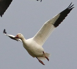 Snow Goose, Bowness Viaduct, Nick Franklin